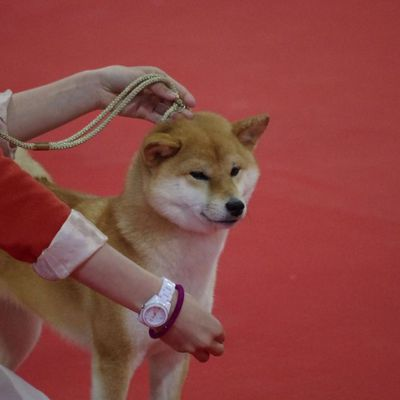 Shiba inu exposition canine internationale Martigues 2016