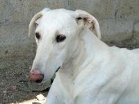 lévrier galgo d'espagne a adopter chez sos chiens galgos