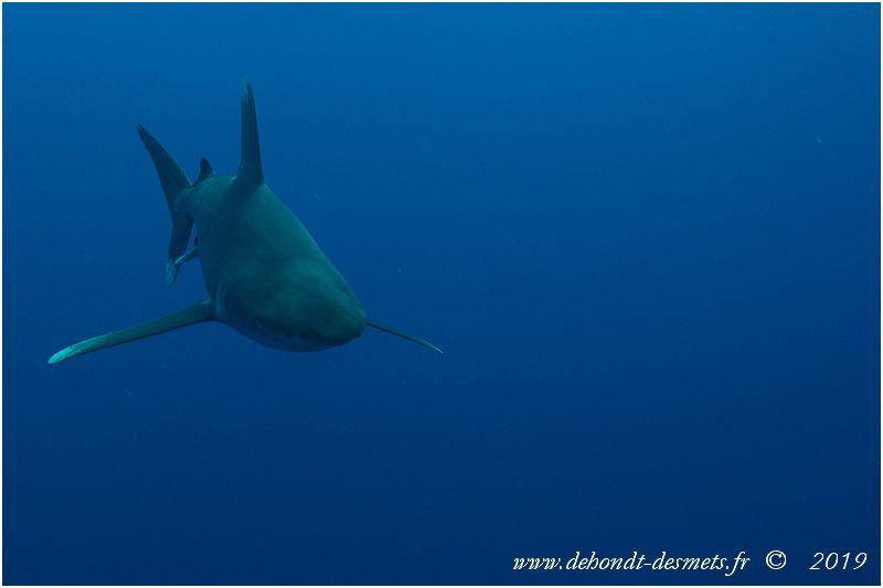 """Le requin longimane s'approche facilement, soit pour """"se mesurer"""" au plongeur, sil le perçoit comme un adversaire, soit pour l'évaluer s'il le perçoit comme une proie potentielle."""