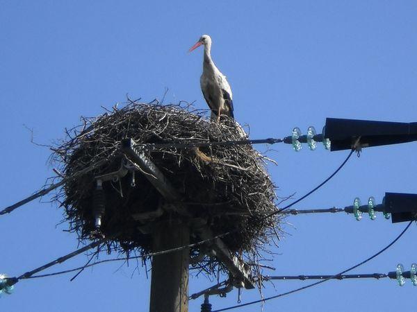 un nid de cigognes dans les Ardennes
