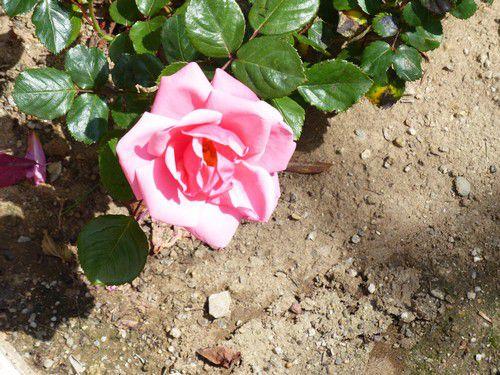 La ronde des roses  de mon lopin de terre