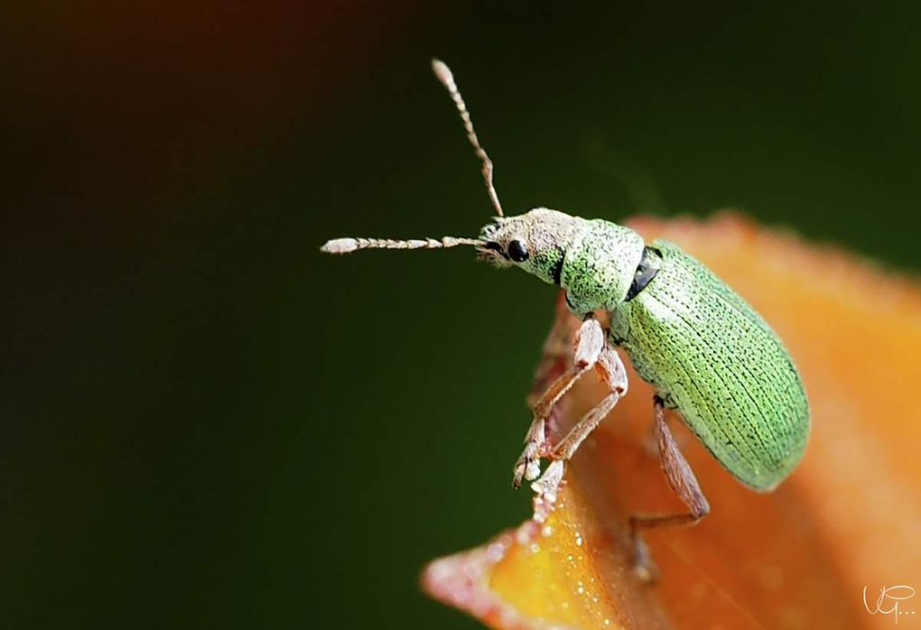 P comme Plydrusus (Chrysoyphis formosus