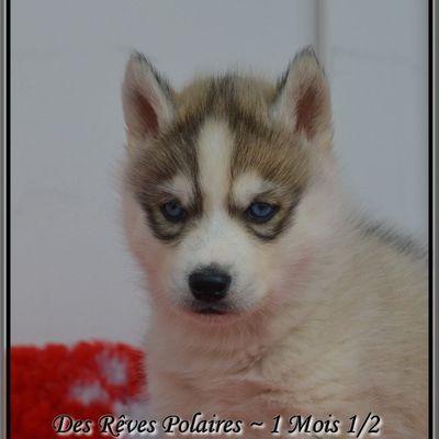 1  Chiot Mâle husky de Sibérie LOF disponible
