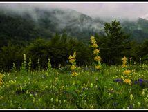 Gentianes fleuries ...