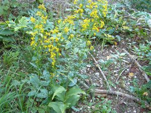 Solidage verge d'or, Solidago virgaurea