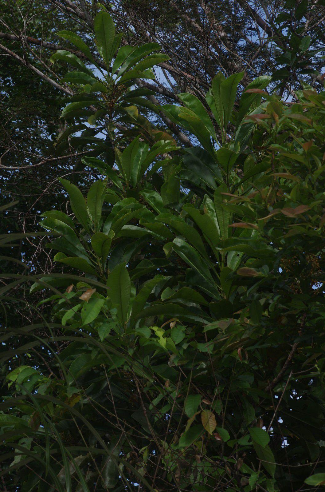 Rhabdodendron amazonicum