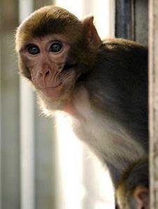 Les macaques au secours des handicapés.