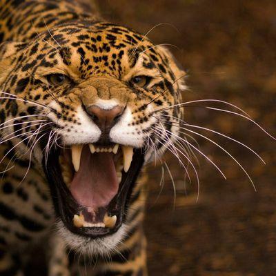 Jaguar - Félin - Photographie - Wallpaper - Free