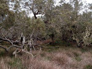 Plaine des Tamarins aux arbres torturés et petites vaches de Mafate