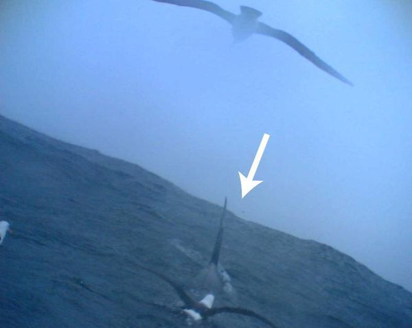 The black-browed albatross (Thalassarche melanophris) associating with a killer whale