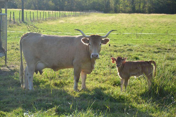 Découvrez une magnifique série de photos transmises par l'association de la vache Béarnaise.