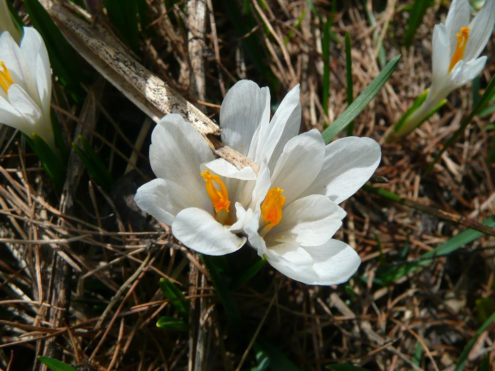Explosion de fleurs à la fonte des neiges ...en Queyras....