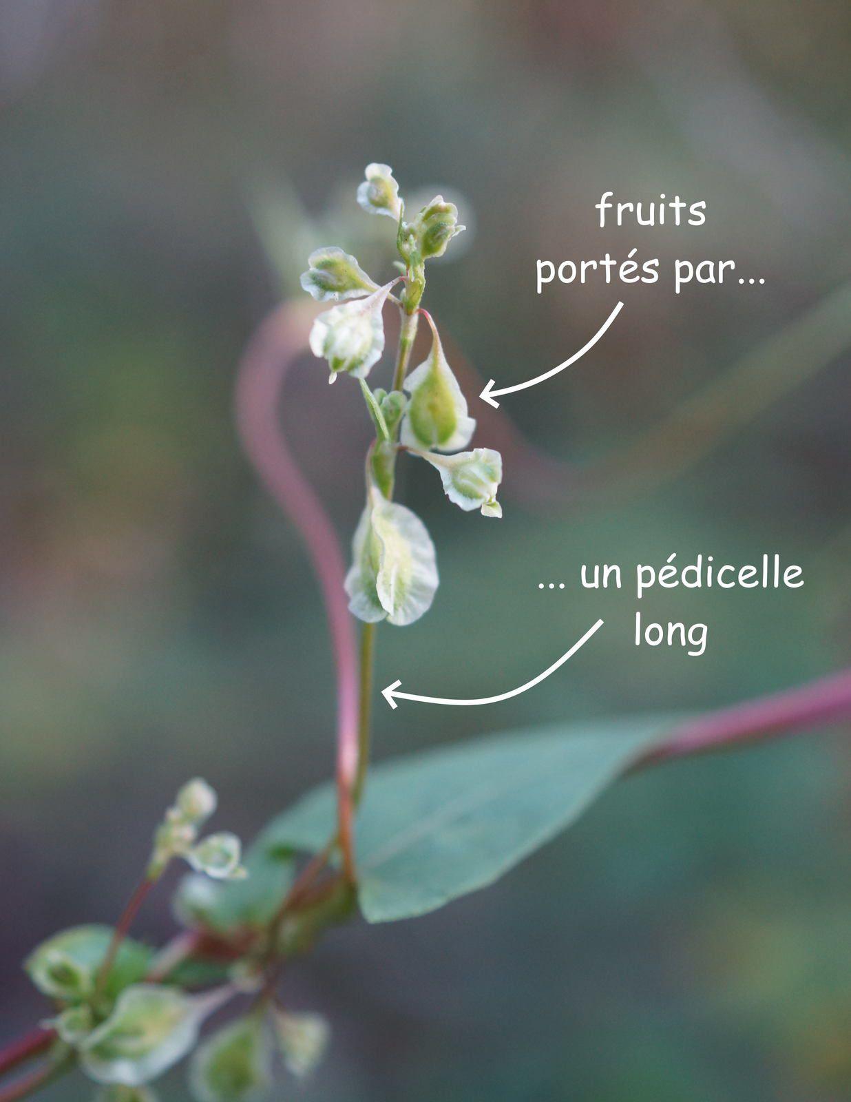 Fruits portés par un pédicelle long
