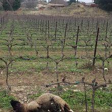Les loups attaquent près de Grignan dans la Drôme