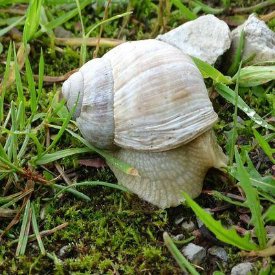 Gros escargots