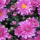 Ressusciter les chrysanthèmes