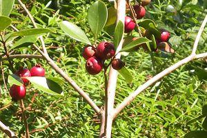 Pestes végétales, les plantes envahissantes à La Réunion
