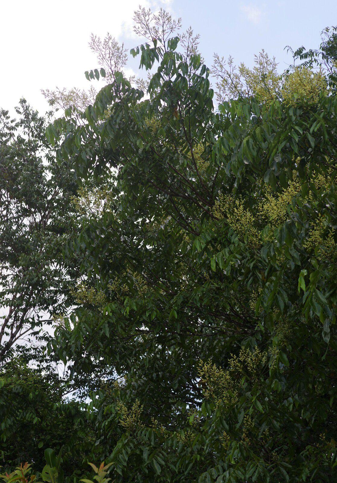 Tachigali guianensis (à confirmer)