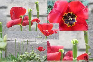 Ein Tulpenleben