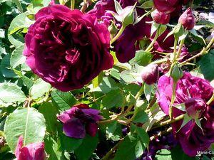 Un rosier que je possède au jardin et qui végète chez nous, Mabou, il faut engraisser tes rosiers !!!