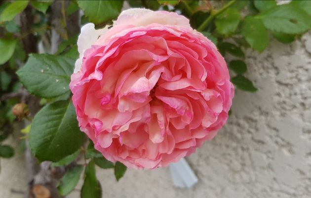 Mon jardin de fille : Les roses de mon jardin