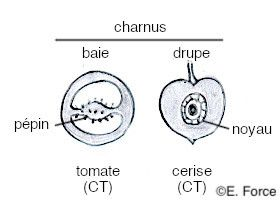 Les différents types de fruits simples charnus en coupe transversale (illustration : E. Force). CT : coupe transversale.