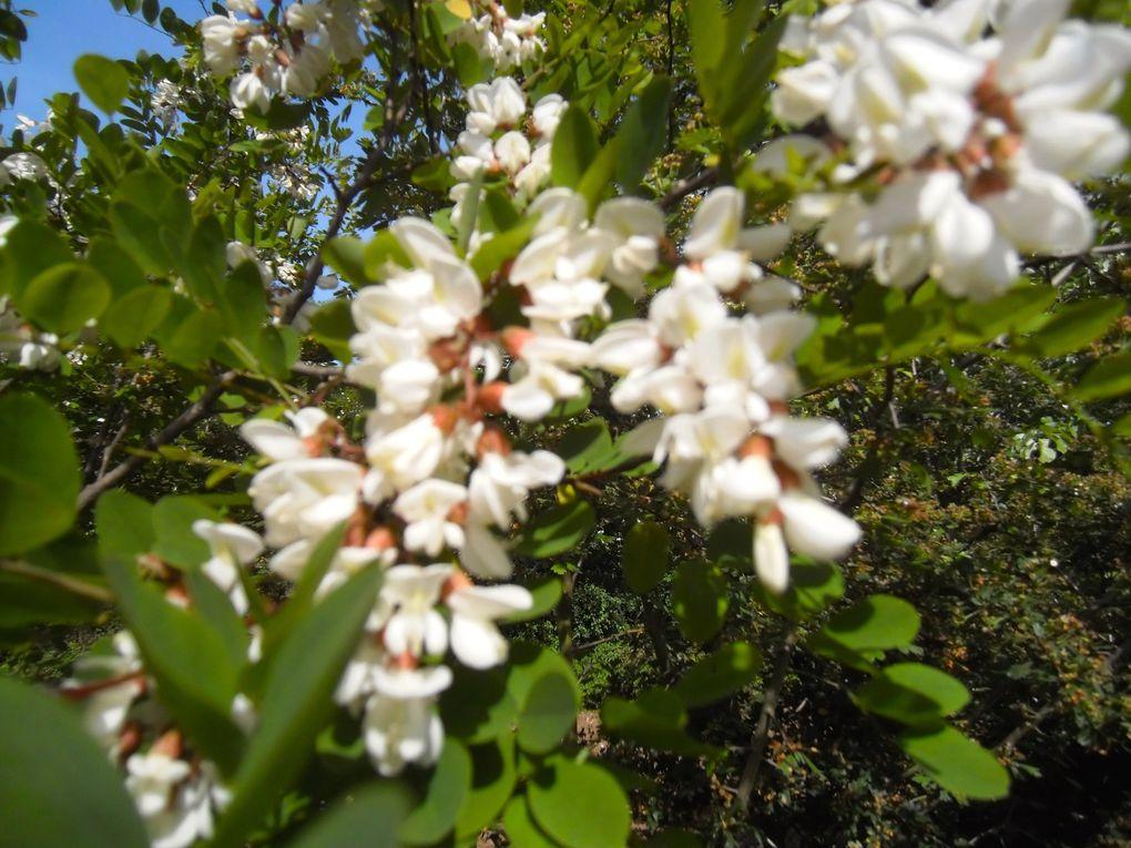 5 photos - Acacia et sureau