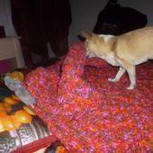 Harley mon chihuahua travaille aussi à la maison.... - les secrets d'ametyste