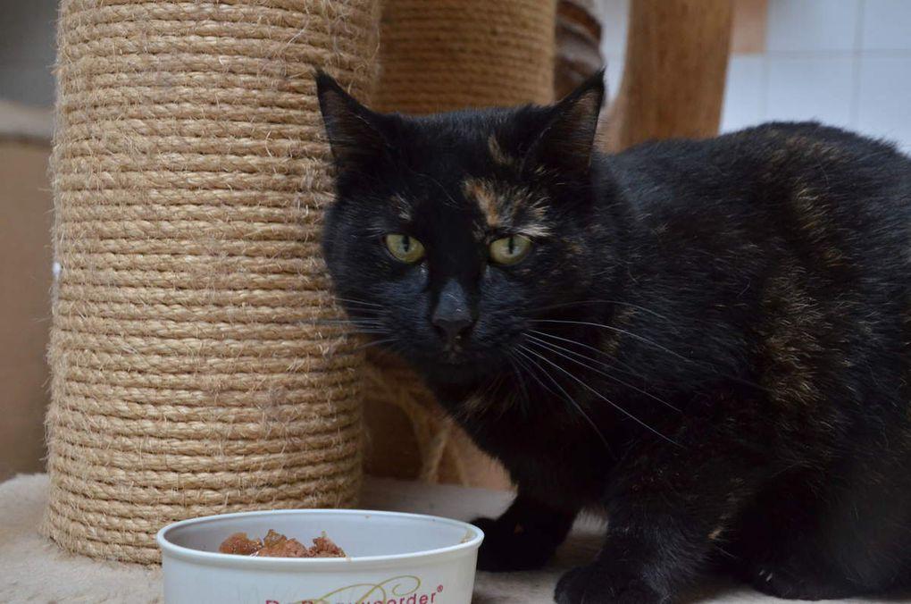 Elle est adoptée !!! : CHATOU, chatte tricolore de 2 ans