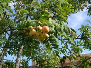Sorbier domestique ou cormier, Sorbus domestica, les fruits sont comestibles une fois blets...