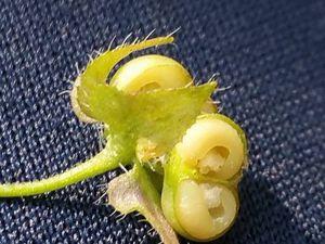 Fruits de V. hederifolia, montana, persica. En bas à droite : fruit de V hederifolia contenant les graines