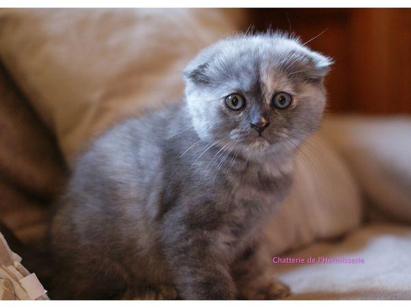 Lianos, Lyza et Leyna de l'Hermisserie, les petits Scottish ont eu 2 mois. Ils ont été vaccinés et identifiés cette semaine. Tout va bien et ils ont bien récupéré . De superbes couleurs .. Tous les chatons ont trouvé une nouvelle famille .