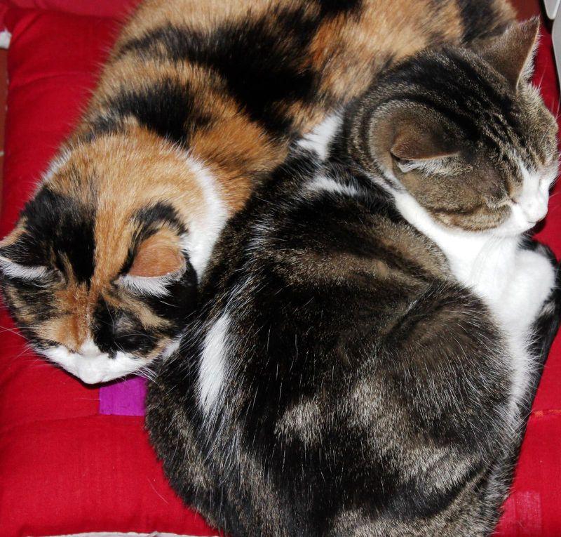 Les deux chattes. Plume et Bella.