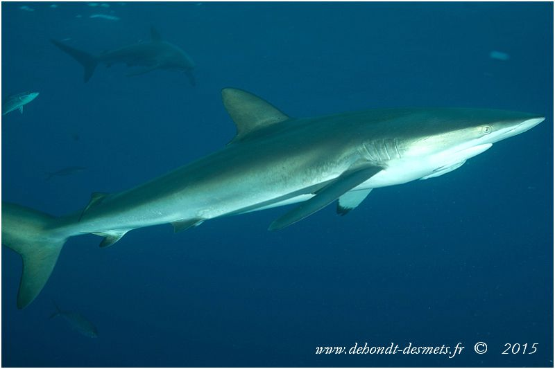 Le requin soyeux doit son nom à la texture lisse de sa peau. C'est un requin curieux qui s'approche des plongeurs sans pour autant les attaquer.