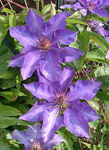 'The President' : Clematis patens L. ,  Ranunculaceae