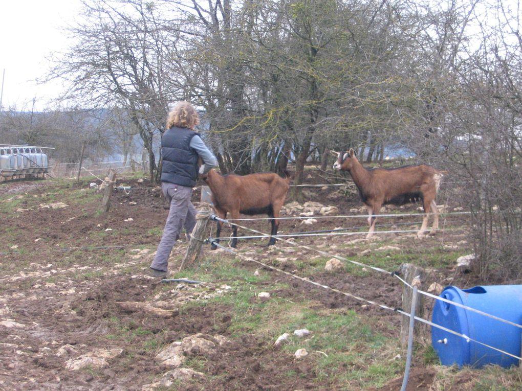 Retraite de 3 biquettes dans un élevage de porc plein-air dans un village voisin de celui de la Bergerie