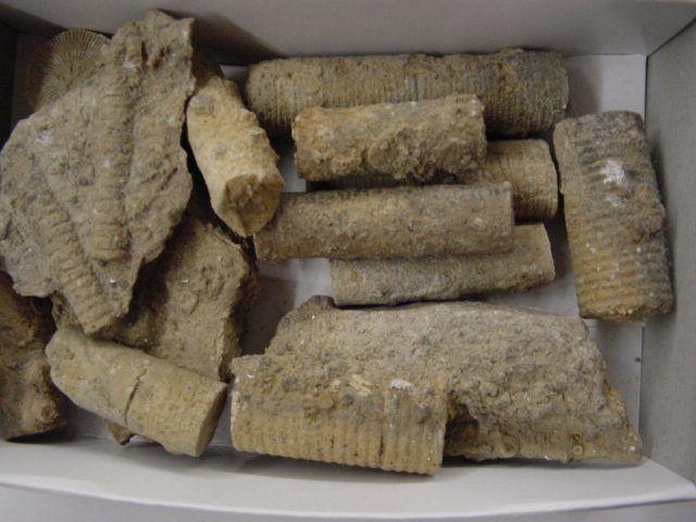 Album photo faunistique des alentours de Rochefort. Voici les principales espèces fossiles découvertes dans cette région ardennaise. Toutes ces pièces appartiennent à notre collection. Phil « Fossil »
