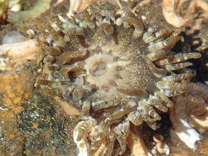 Plus souvent fixée sous les pierres, sa cousine, aux tentacules épais, courts et parsemés de taches claires, la colonne est ornée de verrues blanches à points rouges (plutôt discrets) disposés en ligne.