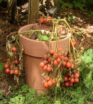 Tomates ditmarsher en fin de saison