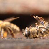 """Monsanto veut modifier génétiquement les abeilles """"pour les sauver"""" - MOINS de BIENS PLUS de LIENS"""