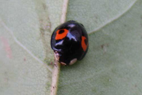 Album - coccinellidae