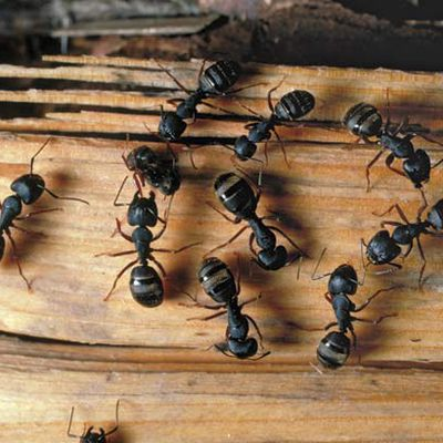 Hiring professional Carpenter ants control service? Know these facts first!
