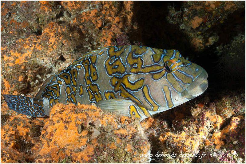 Le poisson-faucon orné a le corps vert olive avec des bandes ocre jaune à kaki bordées de noir puis de bleu cie