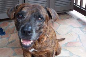 NOUNOURS s'appelle RAFAL - croisé boxer - 2 ans - adopté