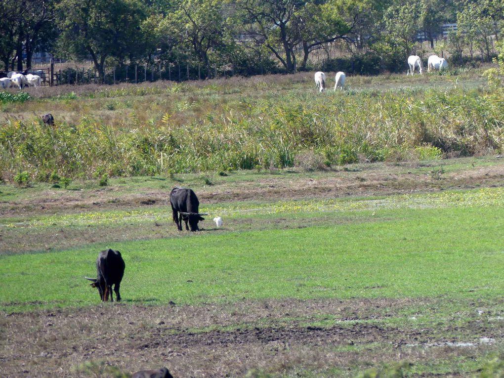 Les taureaux et leurs compères ailés