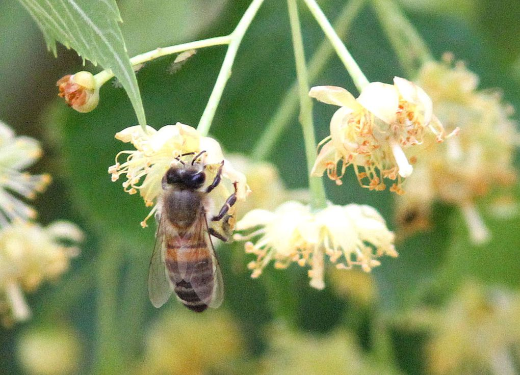 Fleur du jour : le Tilleul à petites feuilles