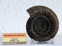 L'ammonite après extraction du nodule et les deux contre-empreintes.