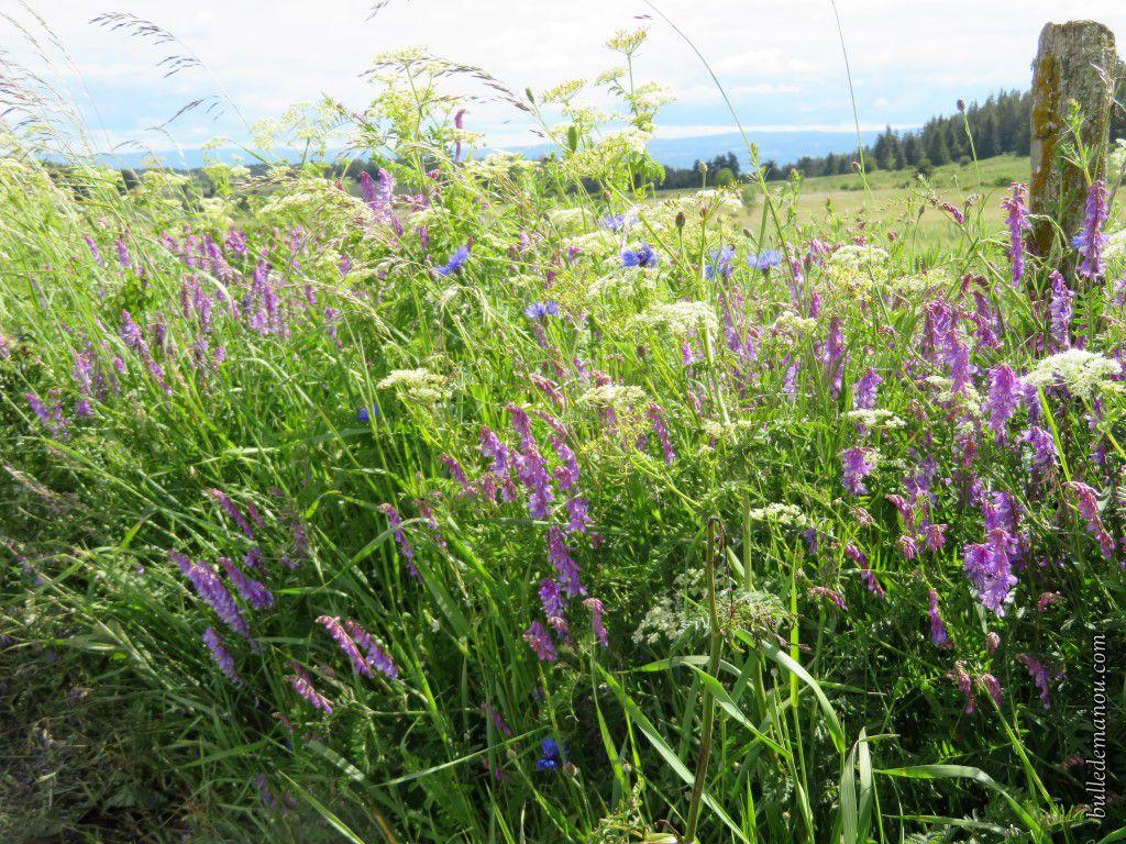 Fleurs d'été en Haute-Loire