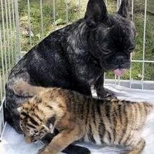 Un tigre qui avait du chien (et vice vertu)