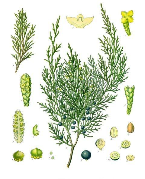Les plantes potagères du capitulaire de Villis et du calendrier républicain